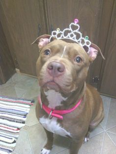 Pit bull princess!- Of Course I'm beautiful, I'm a princess and this is my tiara!!