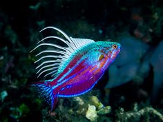 Marine Fish, Sea Creatures, Animal Pictures, Pets, Nature, Wikimedia Commons, Animals, Blue, Naturaleza