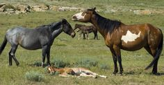 At the Black Hills Wild Horse Sanctuary, hundreds of captured mustangs now run wild and free — all because of one defiant cowboy. Here, horses gallop on American land just as it was 300 years ago. This land remains one of the most wild places in America, situated in South Dakota and surrounded by the... View Article