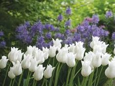 Image result for White Triumphator tulip