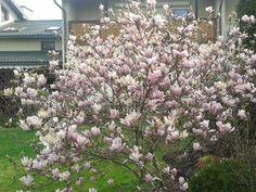 Magnolia Heaven Scent of Beverboom Magnolia, Heaven, Plants, Gardening, Decor, Living Room, Sky, Decoration, Magnolias