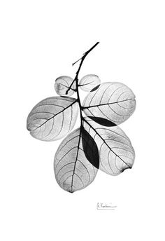 Myrtle Leaves in Black and White Close Up Reprodukcje autor Albert Koetsier w AllPosters.pl