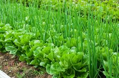 Lettuce and onions, good companionship!  The outside gardens of New Earth Organic Farm