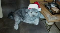 Christmas schnoodle