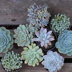 Light blue, aqua, and green succulents.