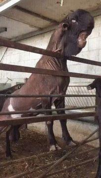 Damask Goat is Alien Looking