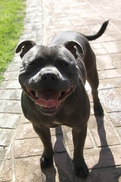 Jarppi with her Staffie smile