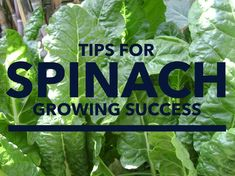 """Spinach is an edible flowering plant from the goosefoot family and was native to Asia. Spinach is a popular vegetable loaded with nutritional value and considered by nutritional experts to be a """"super food"""". Superfoods are foods that are known to help reduce cholesterol, the risk of heart disease and cancer. Spinach is high in …"""