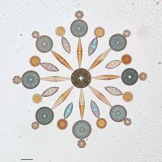 Diyatomeler, şekilsel bakımdan fevkalade zenginlik gösteren, tek hücreli ve koloni halinde yaşayan alglerdir. Bu küçük esmer renkli canlıların silisli sert kabuklara sahip olmaları, hücre çeperlerinin birbirleri üzerine kapanmış kapalı kutu katmanları şekline bir hücre yapısına sahip olmalarını sağlamıştır. 100.000 farklı türlerinin var olduğu tahmin edilmektedir.