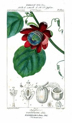 Painting of passion fruit from Flore médicale, by F.P. Chaumeton, Chamberet et Poiret, illustrated by E.M., illlustrated by E. Panckoucke and P.J.F. Turpin, published by C.L.F. Panckoucke (Paris), 1820 (on Google Books, original from Lyon Public Library)