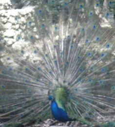 Our first peacock, the 59th species, from Barbados, the 31st country in the Fan Club.