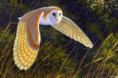 Barn owl.  A thing of beauty.