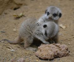 most adorable animal ever | The Most Adorable Baby Meerkat Photos Ever Put Online (20 pics)