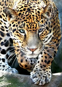 "beautiful-wildlife: "" Jaguar by Dennis Bartsch """