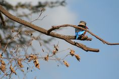 Kingfisher. personal photo Marie-Lys. Ngorongoro Crater. Tanzania.