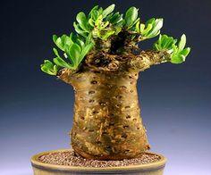 tylecodon paniculatus - тилекодон метельчатый / Купить семена почтой с доставкой