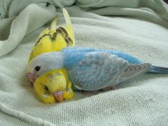 #budgie Umm...I'd never seen this before. Make me feel like not having pets, but they are comforted by the soft cloth for them (thank you).