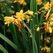 Citronella Essential Oil - $10.45 for 50ml