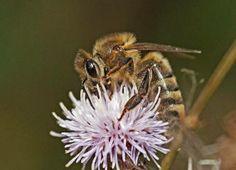 Nutztier Honigbiene - Bitte verzichten Sie zugunsten der stark bedrohten heimischen Wildbienen und anderer Bestäuber auf das Imkern als Hobby, betreiben Sie keine Stadtimkerei. Überlassen Sie die wenigen Nektar- und Pollenressourcen unserer zerstörten Natur den heimischen bestäubenden Insekten. Jeder Verzicht auf Hobby-Imkerei oder Stadtimkerei ist aktiver Naturschutz.
