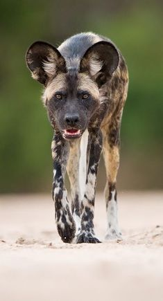 The African wild dog, also called Cape hunting dog or painted dog, typically roams the open plains and sparse woodlands of sub-Saharan Africa