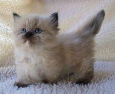 and a himalayan kitten