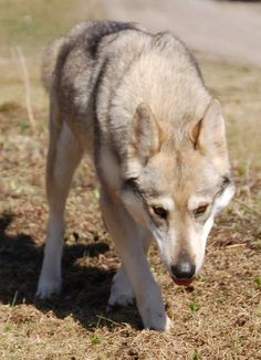 Tamaskan Dog. I might need one of these when I get an actual home and its name might be Skagi (Don't judge me)