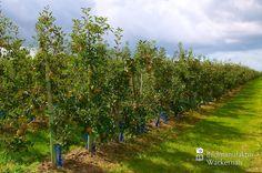awesome Apfelplantage Königreich Numero 19,  #Landleben