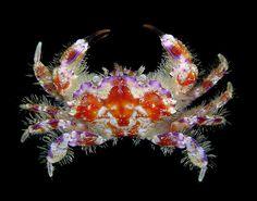 Lophozozymus incisus - one of the most beautiful crabs in the world Wild Creatures, Ocean Creatures, All Gods Creatures, Underwater Creatures, Underwater Life, Crab Art, Beautiful Sea Creatures, Exotic Fish, Sea World