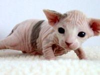 spynx kitten. I want one!!!!