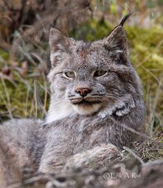 Wild lynx, Alaskan forest. See this Instagram photo by @rufcountryimages
