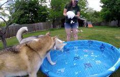 L'été prend tout son sens lorsqu'on laisse des huskys souffrant de la chaleur jouer dans une piscine pour enfants.