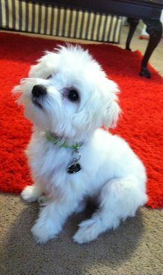 My baby Maltese! Teacup Puppies, Cute Puppies, Cute Dogs, Dogs And Puppies, Doggies, Baby Maltese, Maltese Dogs, Teacup Maltese, Animals And Pets