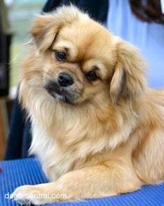 Tibetan Spaniels are soooooo cute, and such good dogs. I want one of my own!