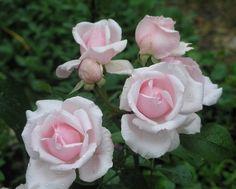 Rose Petit Trianon
