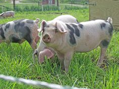 Four Gloucestershire Old Spot piglets arrived at Heritage Farm this week! Read about them, along with other stories from the latest SSE Newsletter.