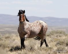 Wild Horse | Wild Horses: BLM Backs Down from Plans to Sterilize Two Wyoming Wild ...