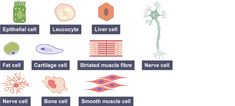 The variety of human cell types: epithelial cells, leucocyte, liver cell, nerve cell, fat cell, cartilage cell, striated muscle fibre, human cell, bone cell and smooth muscle cell.