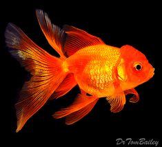 Oranda Goldfish Colors | the picture just above shows a very nice 3 long