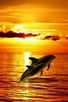 Dolphins Leaping In The Beautiful Sunset