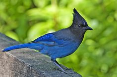 http://www.starstuffs.com/animal_totems/dictionary_of_birds.html  Stellar's Jay teaches lessons of adaptation to any situations and learning quickly with a high intelligence. He gives access to memories long forgotten and shows how to assimilate them into awareness. He demonstrates risk taking, seizing opportunities and discovering new avenues for exploration. He will show the power of intelligence and fortitude balanced with discreet silence and utmost patience in timing.