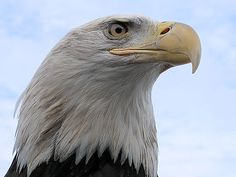 FREE American Eagle Video~  This PBS Introduction to Bald Eagles is fascinating and inspiring.  A great way to bring lessons about American symbols to life!