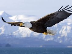1. Alaska has more bald eagles than all the other states combined.