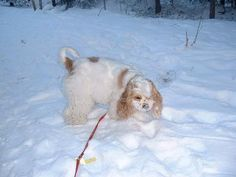 American Cockerspaniel in Finland