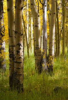 Ideas For Birch Tree Forest Pictures Landscape Photos, Landscape Art, Aspen Trees, Birch Trees, Forest Pictures, Tree Forest, Birch Forest, Tree Leaves, Photo Tree