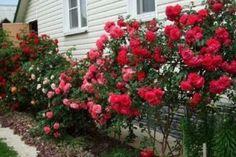 """Hrănesc"" roșiile mele cu o soluție deosebită! - Fasingur Climbing Roses, Bougainvillea, Small Farm, Farm Gardens, Country Life, Orchids, Sidewalk, Home And Garden, Gardening"