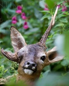 Roe buck with antler deformity in which an antler is growing from the eye socket.