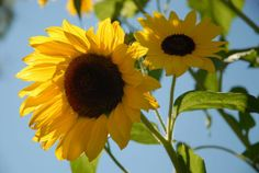 Sunflowers #1 from Nature & The Outdoors Part II by Lafayette Wattles, via Behance