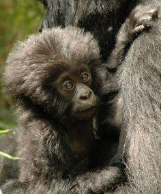 Baby gorilla.......awwww......