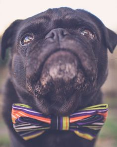 It's a tie on kind of Tuesday! #tot #tiesontuesday #thepugdiary  Bow tie by @ohjaffa