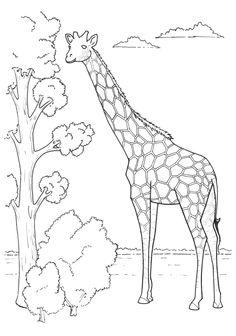 Giraffe Coloring Picture